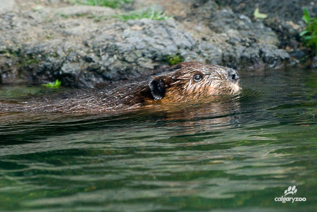 Wet wonder- the beaver is a semi-aquatic rodent!