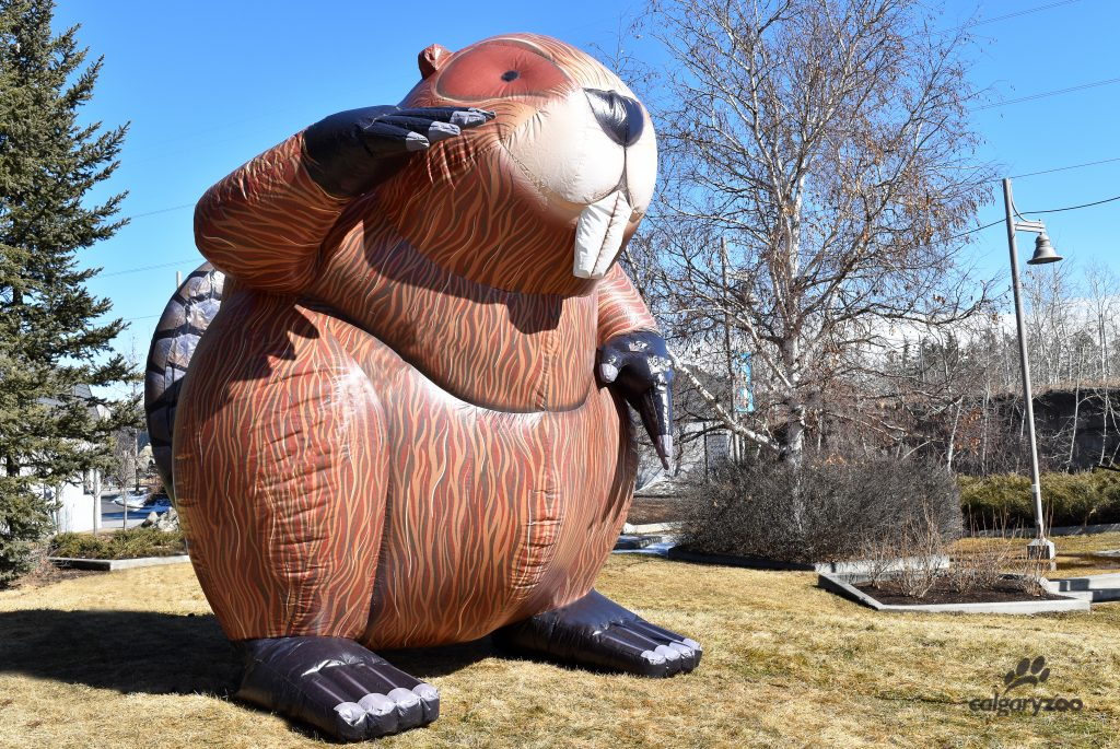 Meet the incumbent- the dam beaver!