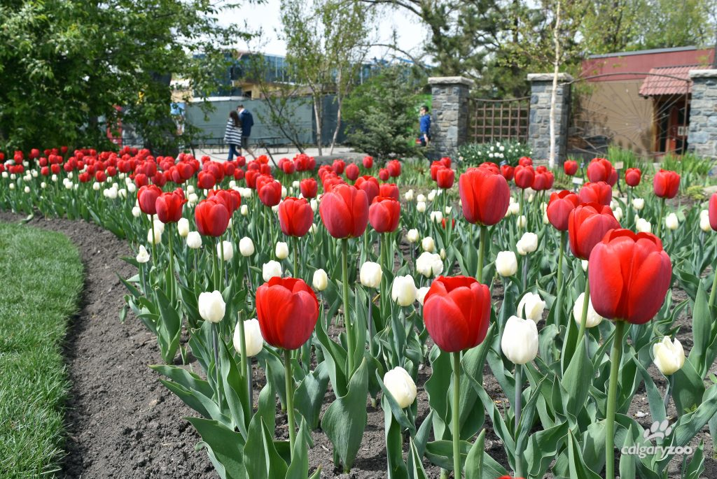 We're celebrating Canada 150 with a garden of red and white tulips.