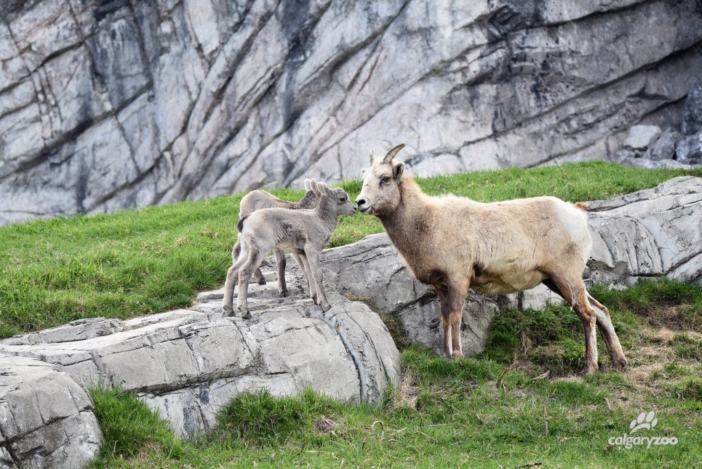 These are two climbing cuties! Keep an eye out for the two lambs chasing each other and climbing anything and everything in their habitat.
