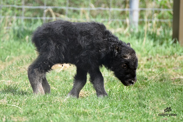 This year's muskox calf is seriously sweet.