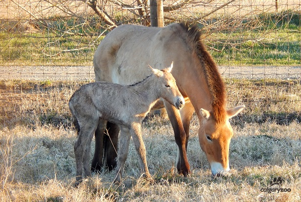 A Mongolian wild horse (Przewalski's) foal was born at the Calgary Zoo's Wildlife Conservation Centre early morning Monday, May 1, 2017 - a sure sign of spring.