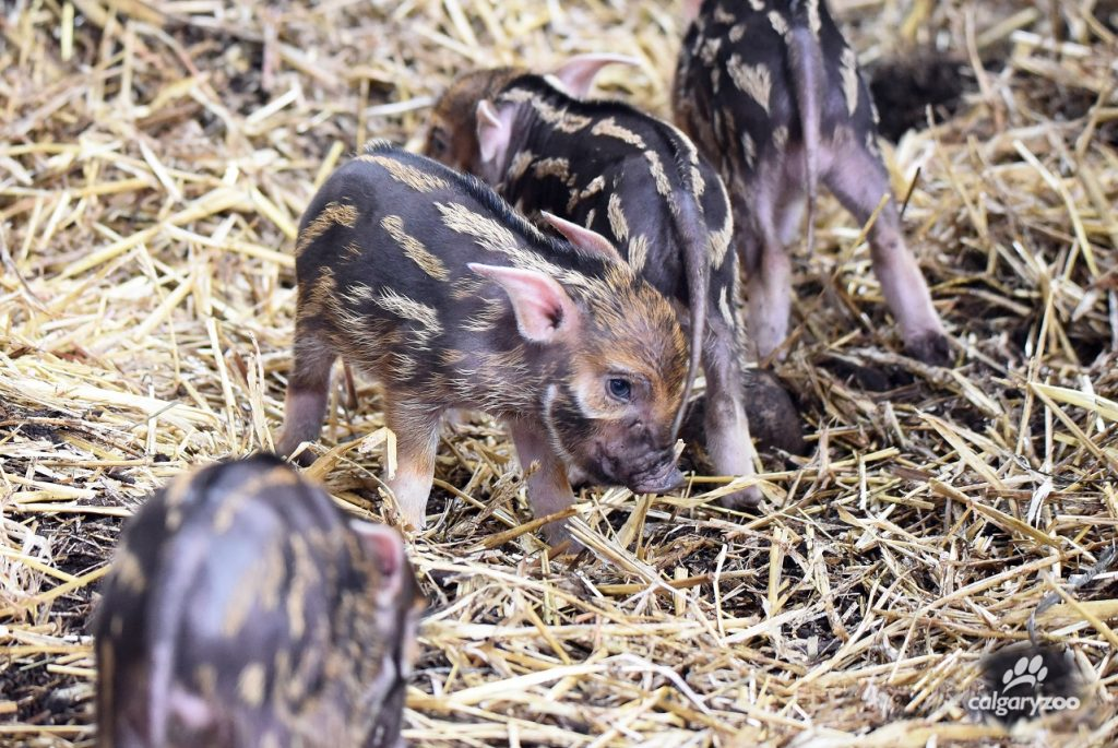 Holy hoglets! Red river hog mother Ine had a litter of four this year!