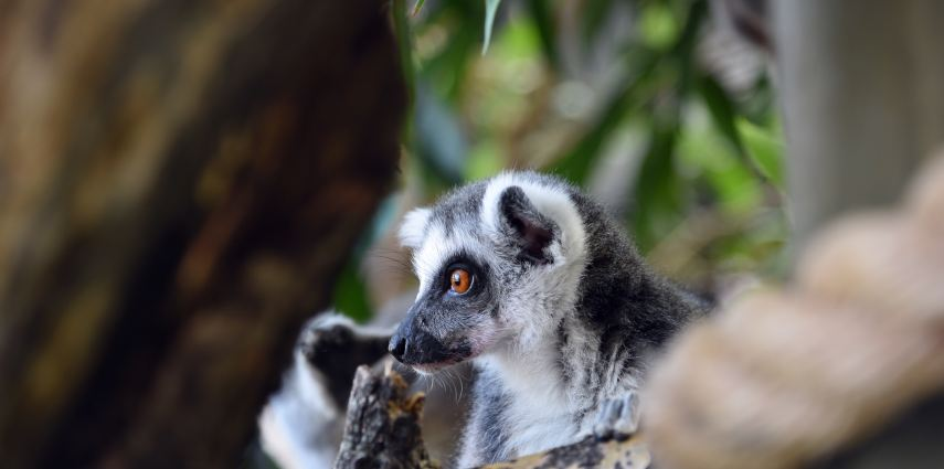 Keep your eyes peeled- lemurs like to spend their time in the trees. The best way to spot them is to look up!