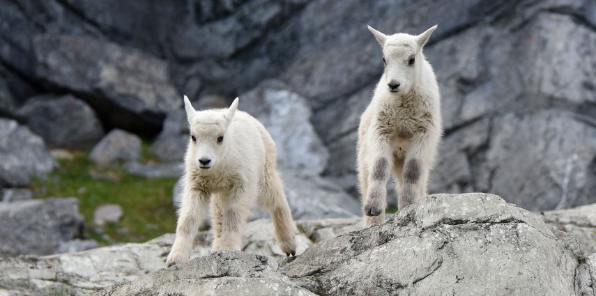 This year we have three Rocky Mountain goat kids! Two of the three are a set of active twins.