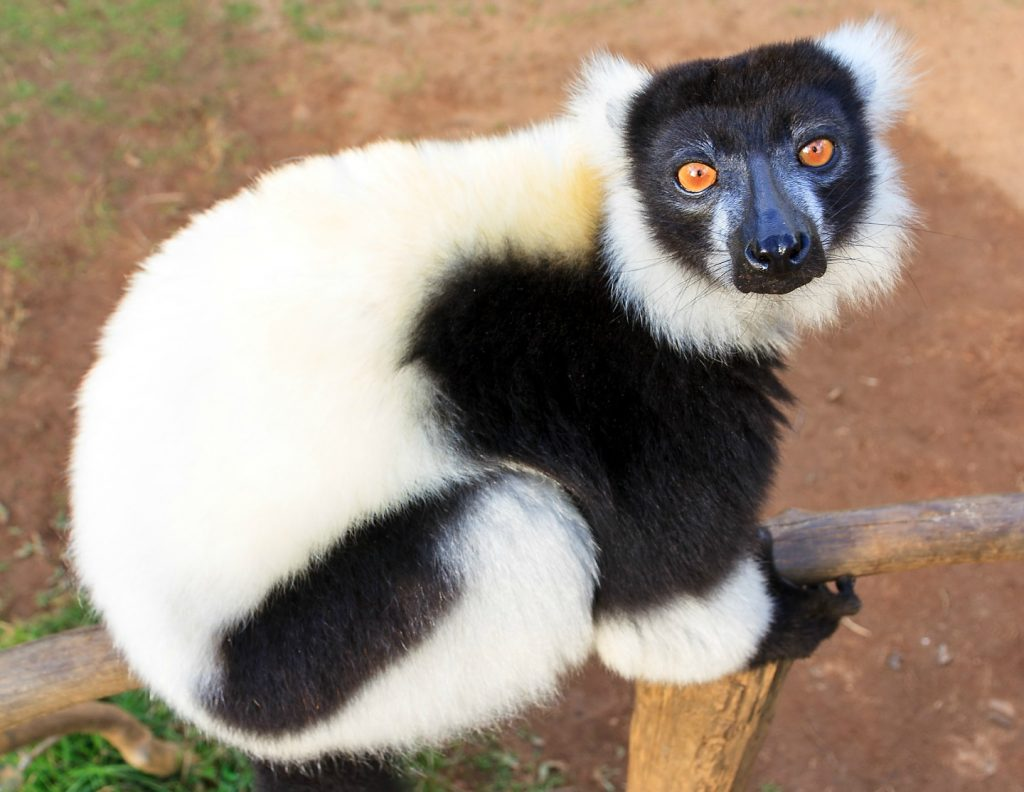 The black-and-white ruffed lemur has a loud and distinctive call.