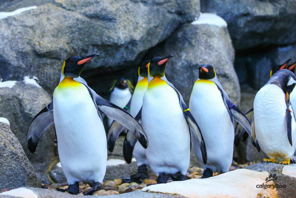 Our king penguins like to waddle together.