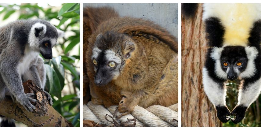 The Calgary Zoo is home to three different species of lemur.