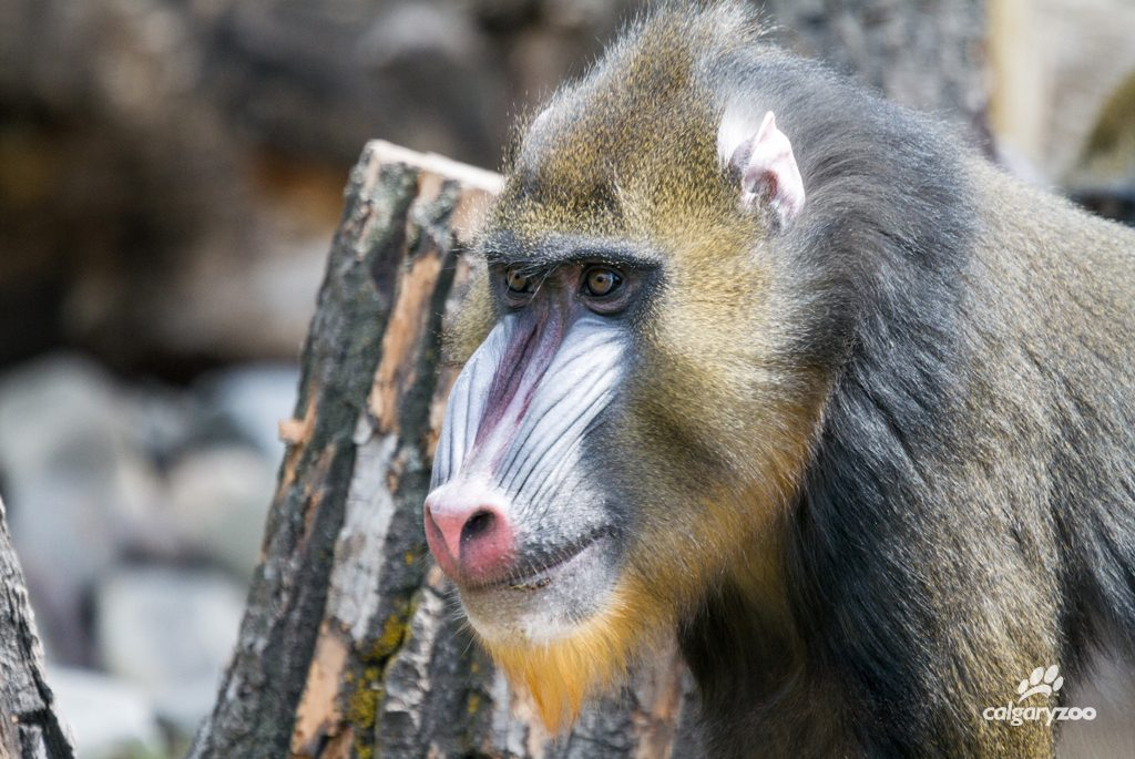 Look at that face! Mandrill's have distinctive facial colouring (that matches bright backsides!)
