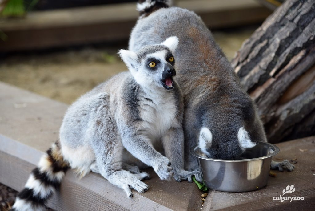 Saboo the ring-tail lemur makes a funny face while eating lunch.
