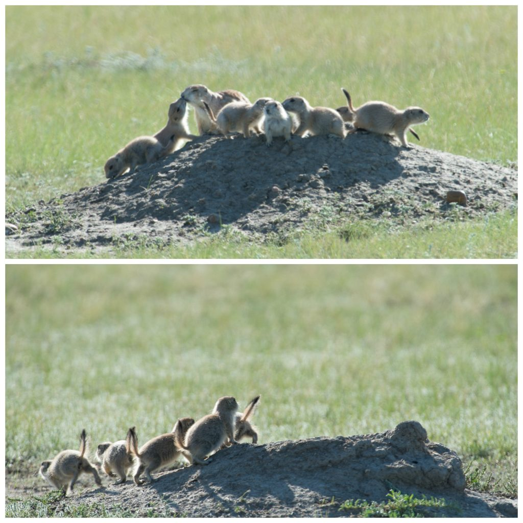 Black-tailed prairie dogs live in the same habitat as black-footed ferrets- and are the ferrets main source of food!