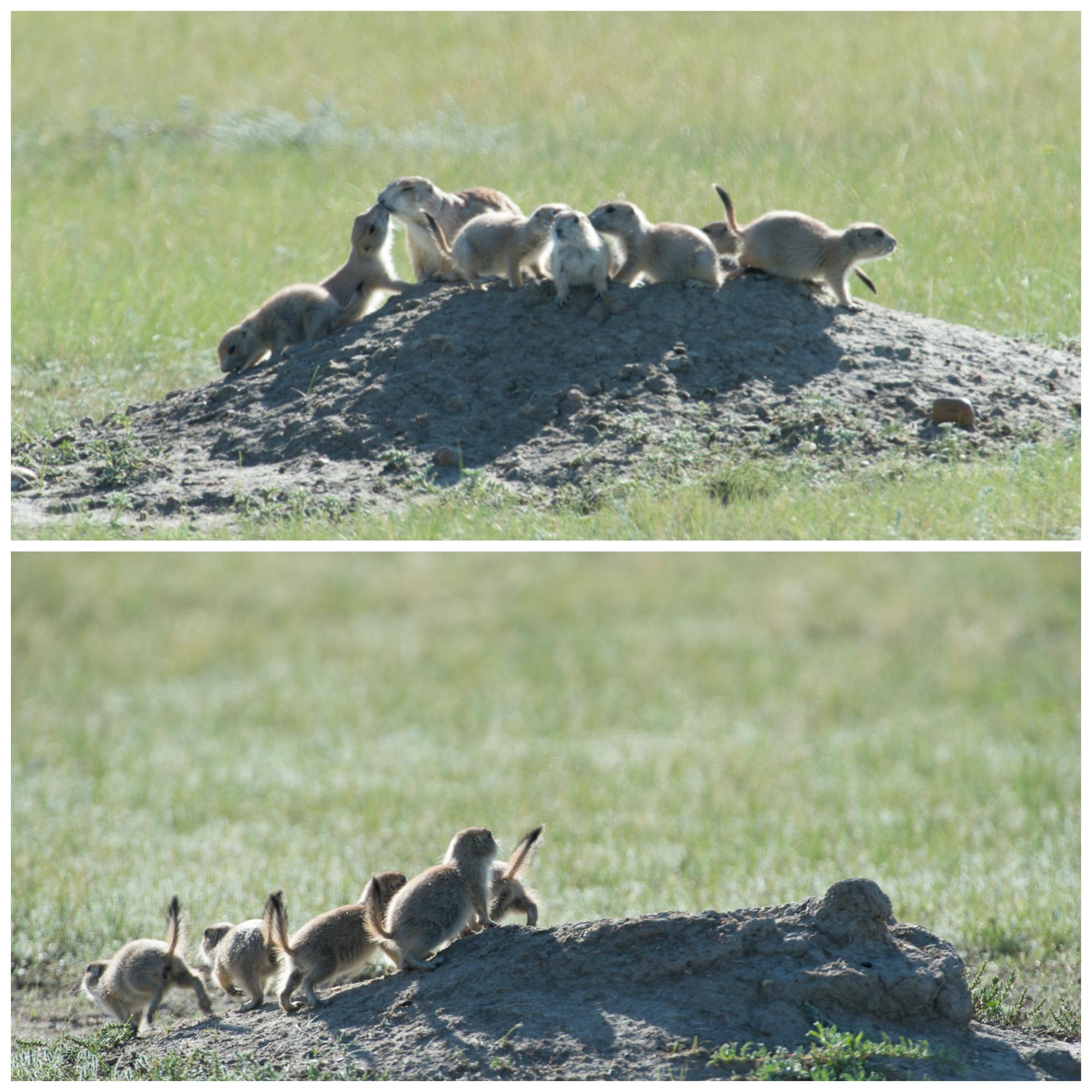 Black Footed Ferret Killing Prairie Dog