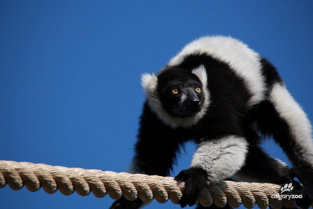 Keep eyes AND ears open around the black-and-white ruffed lemurs! We have two in the habitat and they can be very loud when communicating.