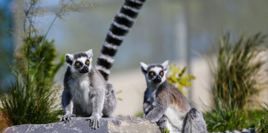 Ring-Tail lemurs at the zoo Photo Credit: Sergei Belski
