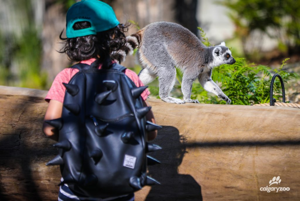 Look at that! Land of Lemurs gives the opportunity to watch lemurs roam up close in their habitat.