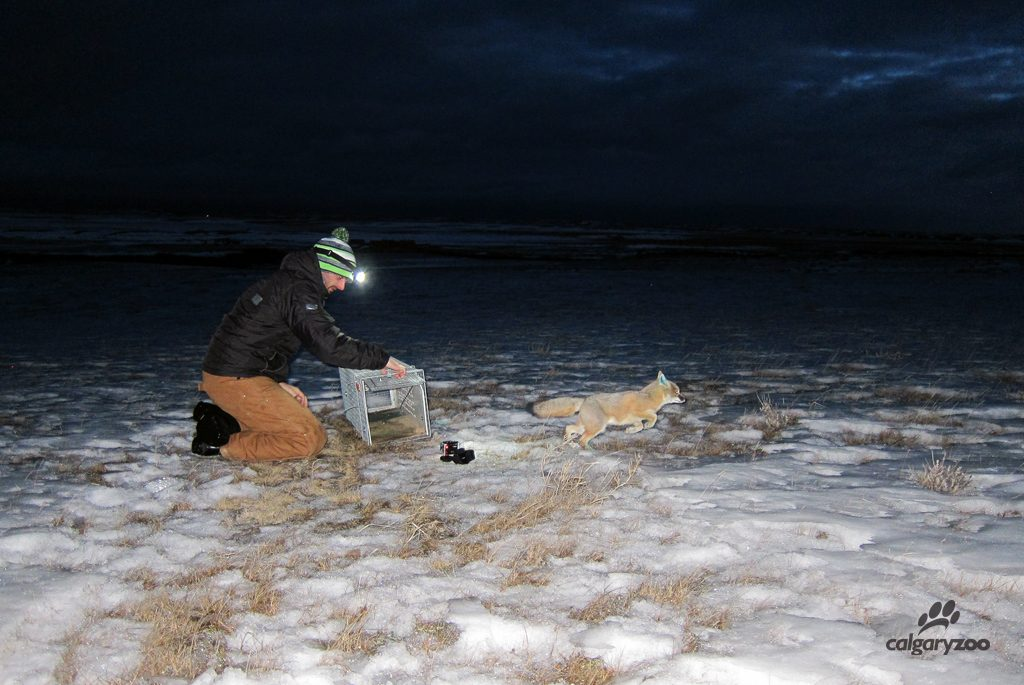 During the live catch-and-release trapping, researchers collect a variety of information.