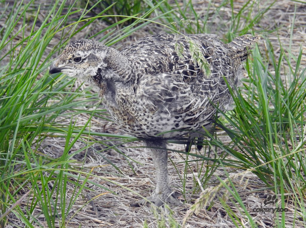 A juvenile greater sage-grouse.