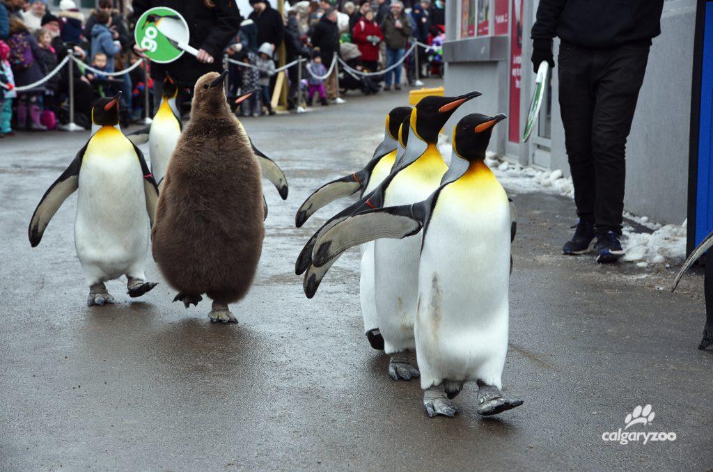 Penguin Walk has begun for 2018!