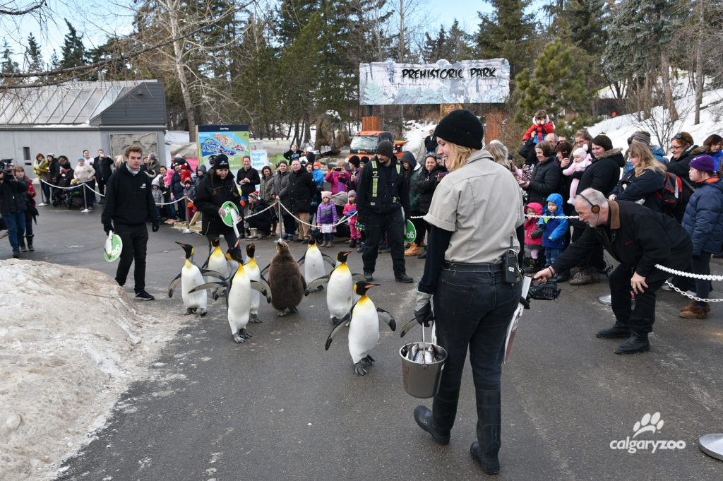 The Calgary Zoo Penguin Walk runs daily at all, starting at January 17, 2018.