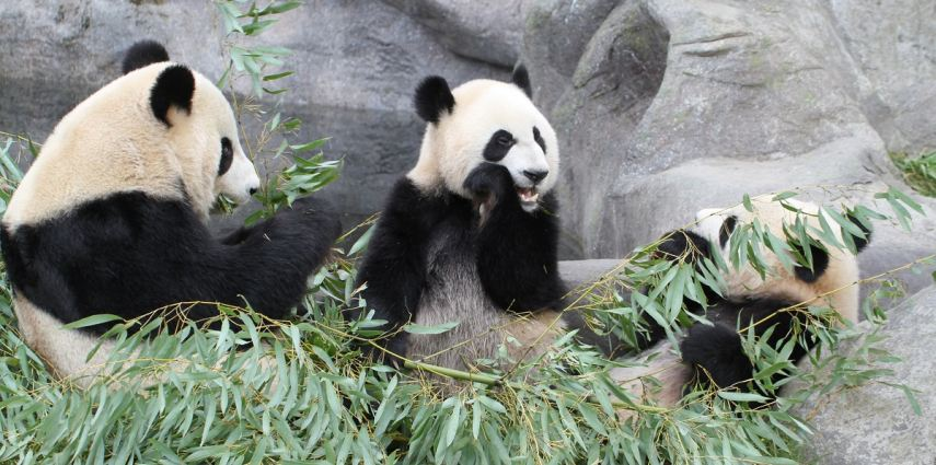 Er Shun (adult female), Jia Pan Pan and Jia Yue Yue (adorable twin cubs). Photo credit: Toronto Zoo