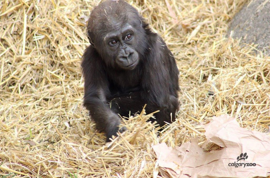 Our young western lowland gorilla Kimani is the darling of our troop.
