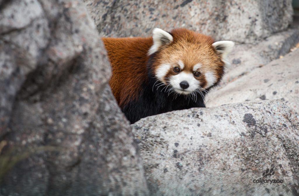 The zoo's 2017 red panda cub is named Nisha!