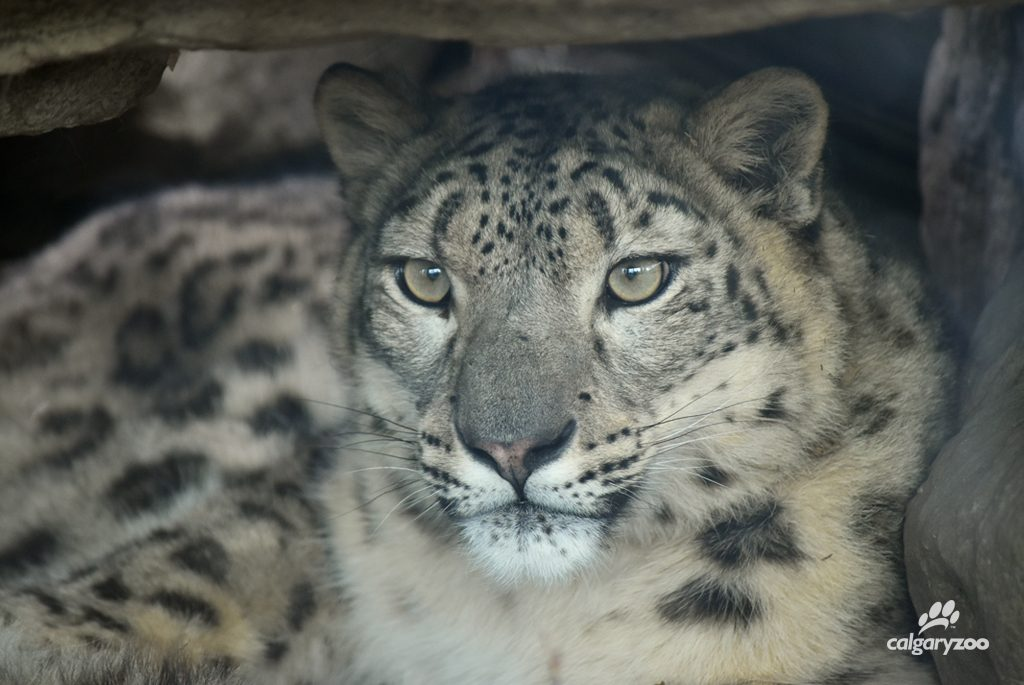Meet our young female snow leopard, Leika.