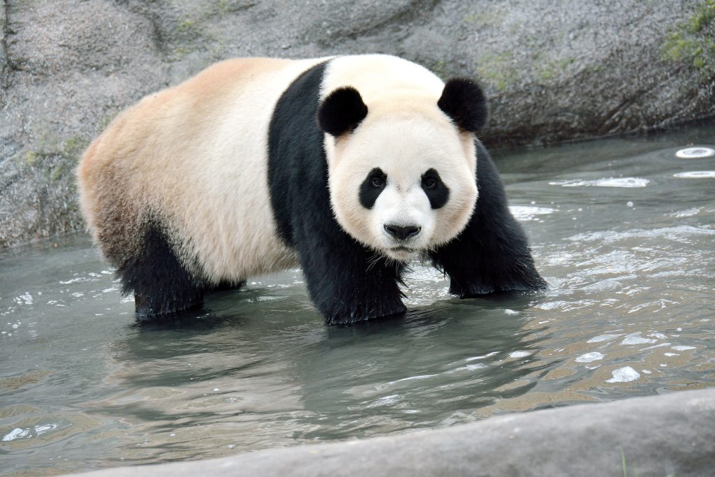Da Mao enjoying water in his habitat. Photo credit: Toronto Zoo