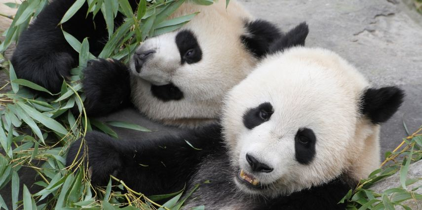 Jia Pan Pan and Jia Yue Yue (adorable twin cubs). Photo credit: Jereon Jacobs, Toronto Zoo