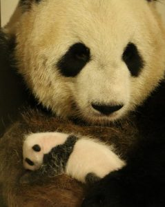 Mother Er Shun with a cub at 28 days. Photo credit: Toronto Zoo
