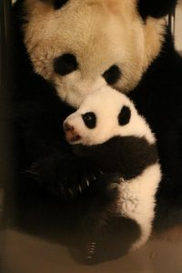 Mother Er Shun with a cub at 12 weeks. Photo credit: Toronto Zoo