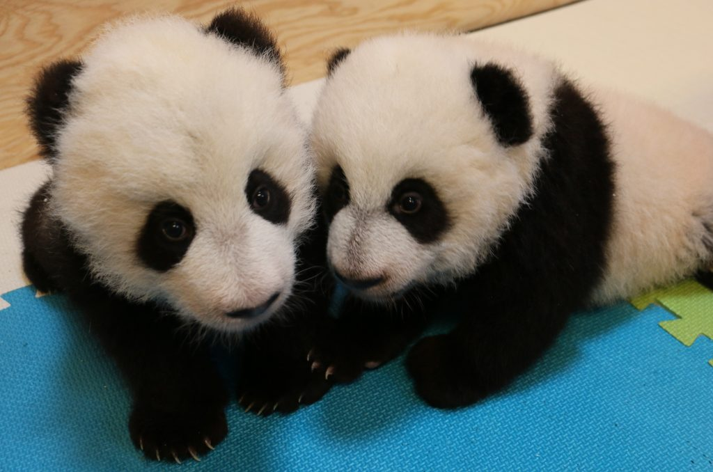 Giant panda twins. Photo credit: Toronto Zoo