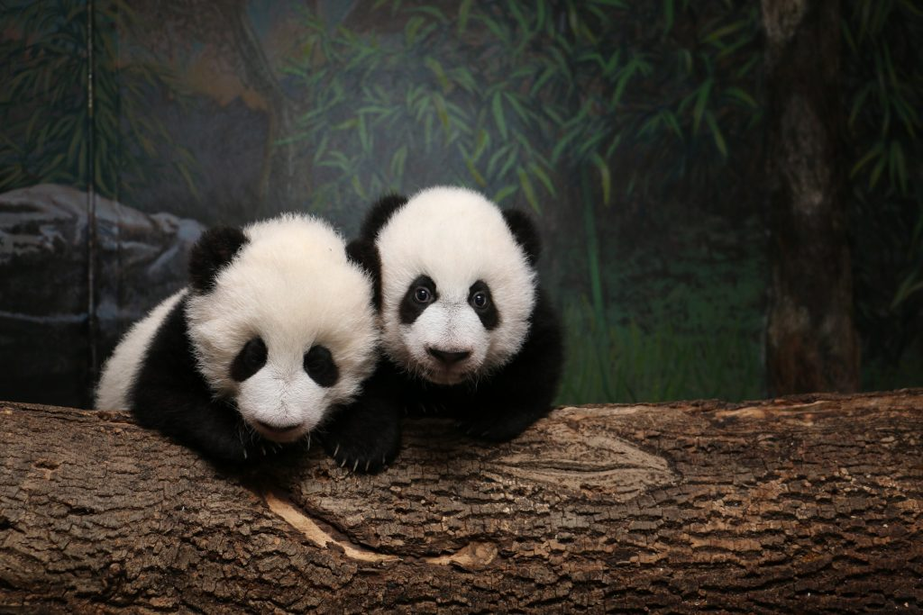 The giant panda cubs when they were young. Photo credit: Toronto Zoo
