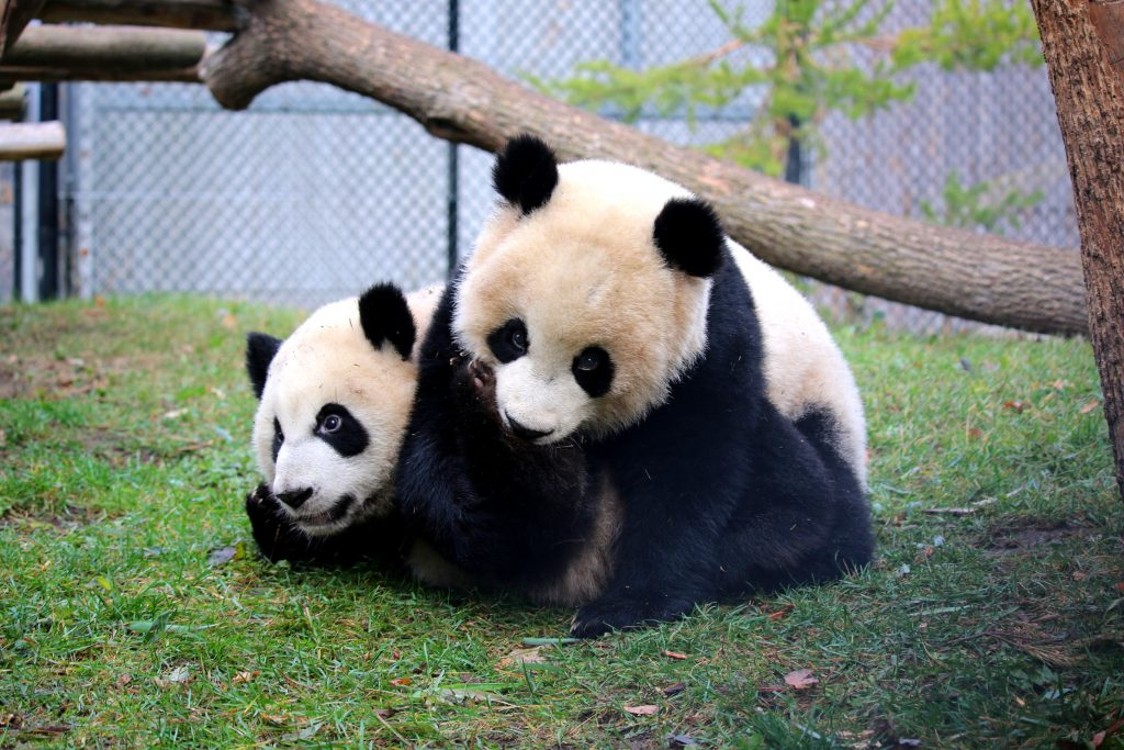 Giant panda siblings Jia Panpan and Jia YueYue!
