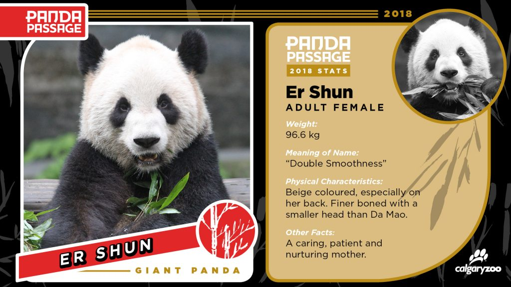 Meet Er Shun, the adult female panda at the Calgary Zoo.