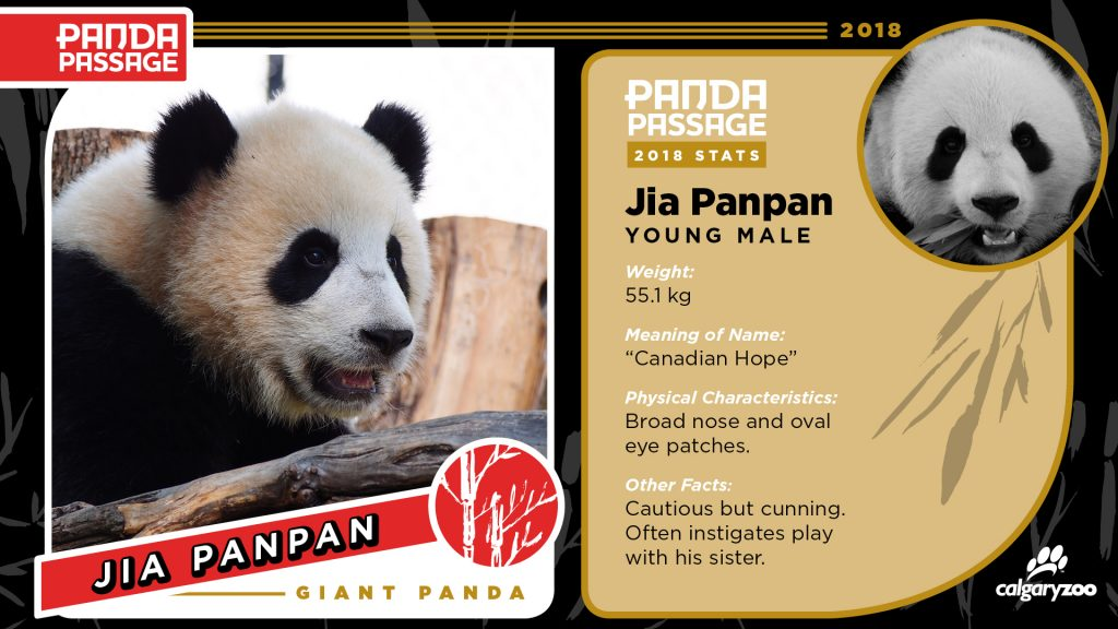Meet Jia Panpan, one of the Calgary zoo's panda cubs.