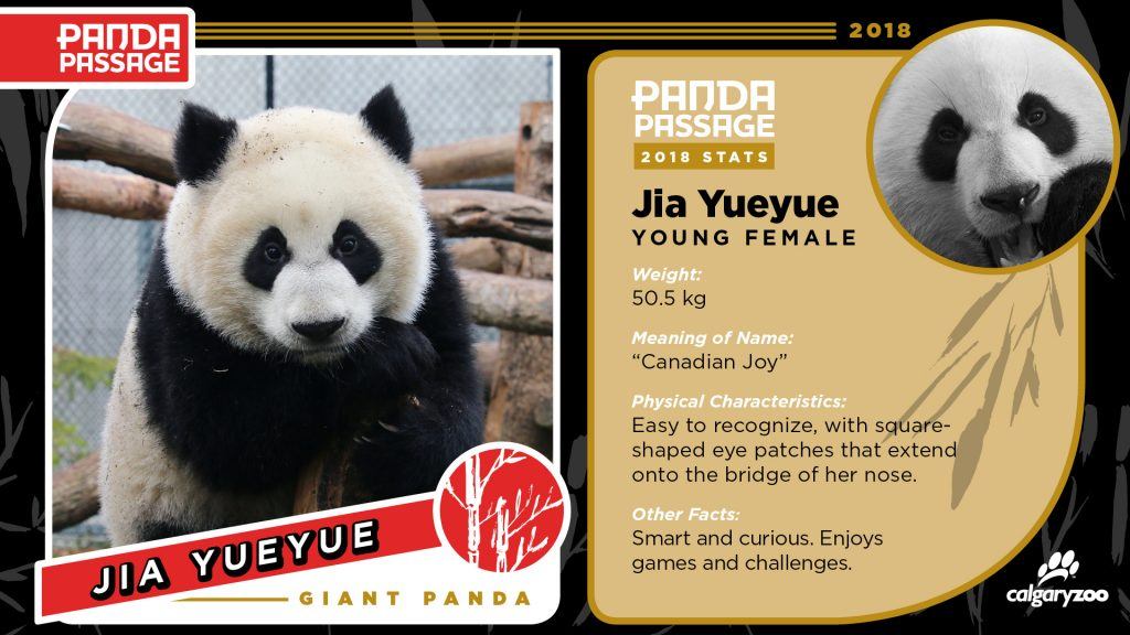 Meet Jia Yueyue, one of the Calgary zoo's panda cubs.