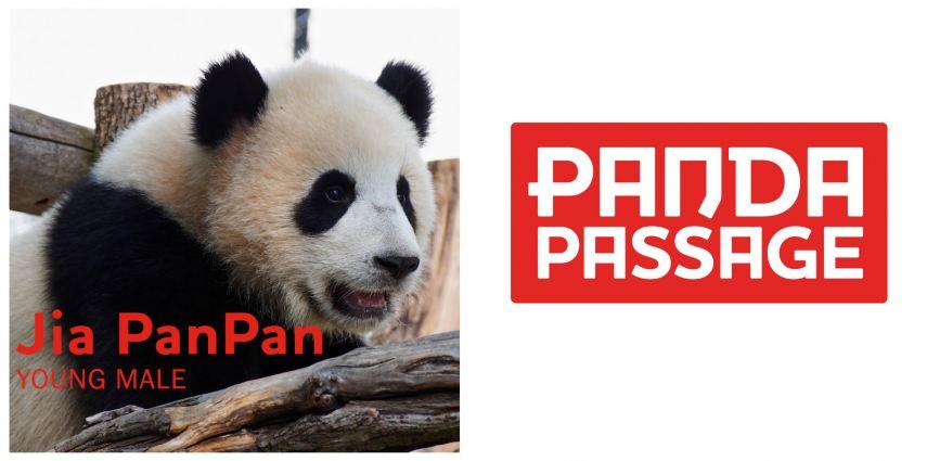 Meet Jia Panpan, our male juvenile giant panda!