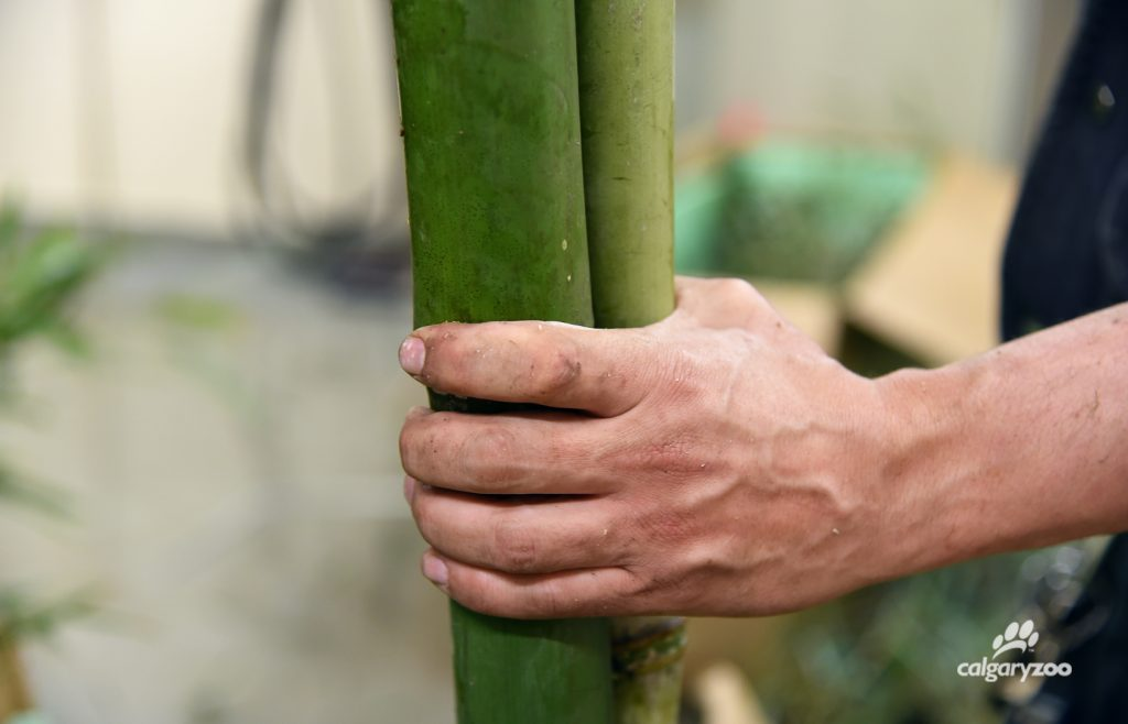 The zoo team brings in bamboo each week for the giant pandas.