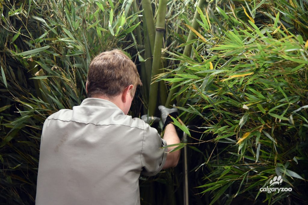The zoo team stores large amounts of Chinese bamboo in a special cooler in Panda Passage.