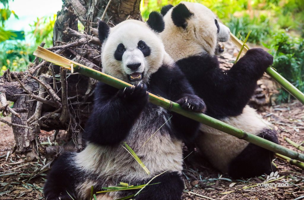 Jia Yueyue and Jia Panpan munch away at their morning bamboo.