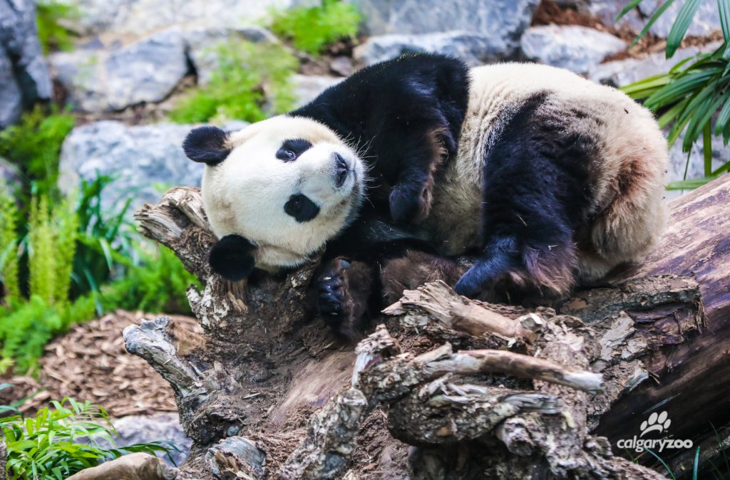 Giant panda Da Mao lounges on a favourite log.