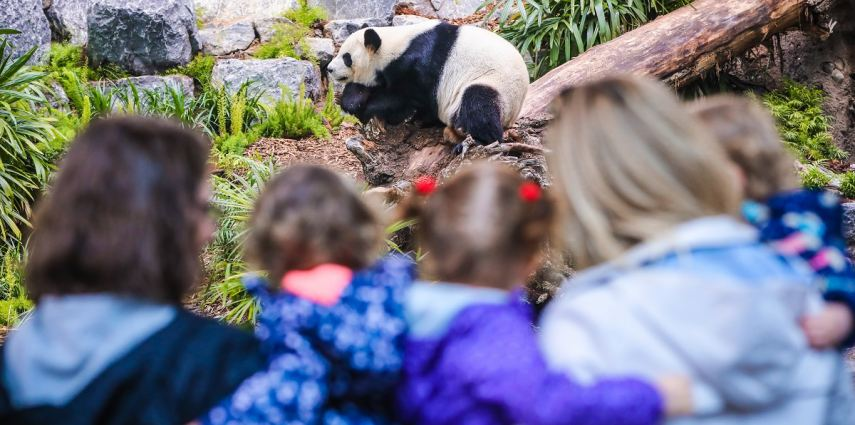 Pandas at the Calgary Zoo. Photo Credit: Sergei Belski