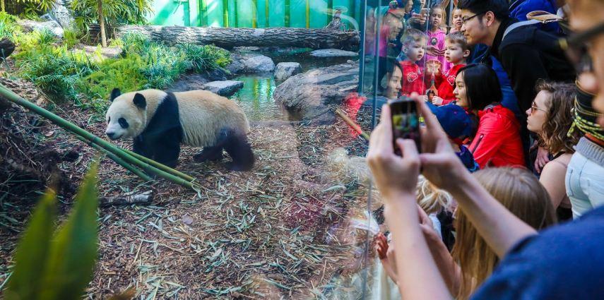 Calgary Zoo Pandas. Photo Credit: Sergei Belski