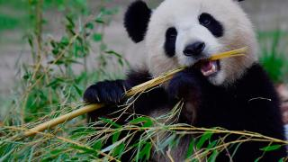 Calgary Zoo Panda Breakfast Image