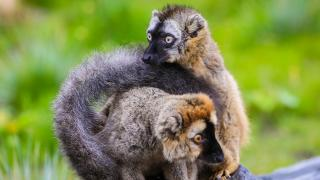 Calgary Zoo - Lemurs - How to Help