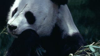 Calgary Zoo - Pandas - Did You Know