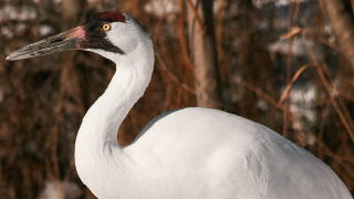 Calgary Zoo - Animals - Whooping Crane Did You Know
