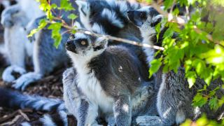 Calgary Zoo - Animals - Lemurs Did You Know
