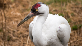 Calgary Zoo - Whooping Cranes - How to Help
